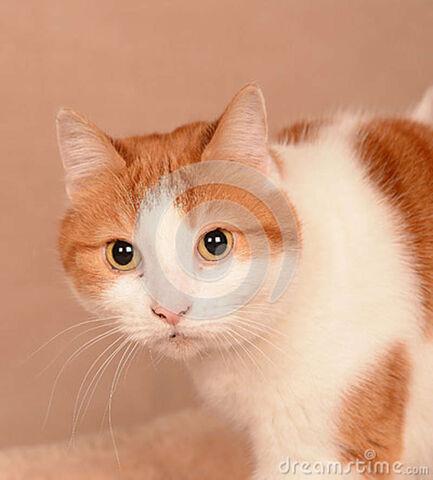 File:Portrait-fluffy-reddish-brown-white-cat-yellow-eyes-30134568.jpg