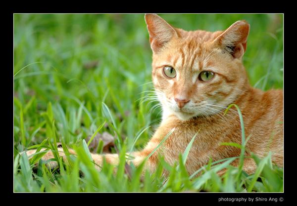 Gingertail