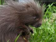 Ricky the baby porcupine 8 by kodasilverwing-d3iwuox