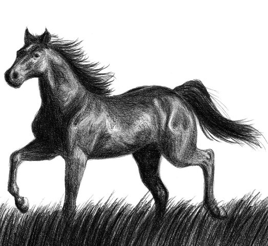 File:Black horse by Amarevia.jpg
