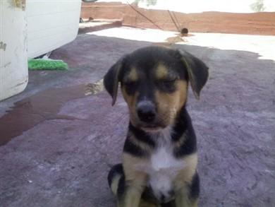 File:78047-regalo-4-cani-razza-incrocio-pastore-belga-tedesco.jpg