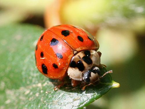 File:Multicolored Asian Ladybug Beetle.jpg