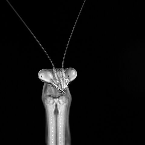 File:Tenodera sinensis 2.jpg