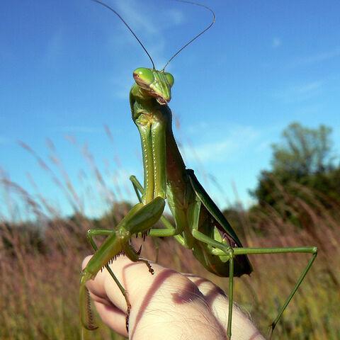File:Praying mantis on my hand.jpg