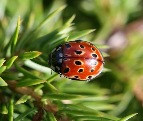 File:Anatis ocellata (Eyed ladybird).jpg