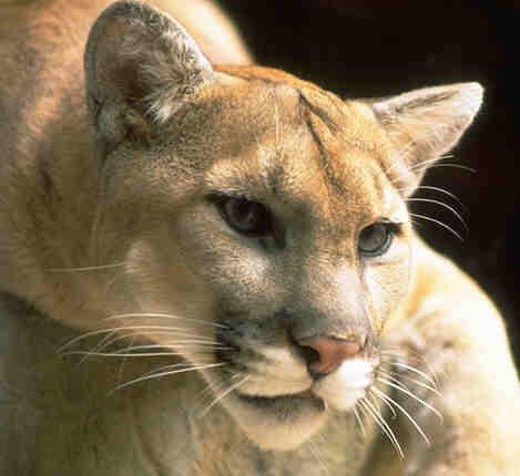 File:Puma-724791.jpg