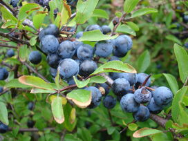 Closeup of blackthorn aka sloe