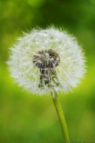 File:Dandelion-seed-weed-flower-1000.jpg