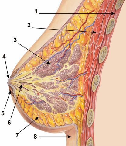 File:Breastanatomy.png