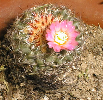 File:Pediocactus simpsonii02.jpg