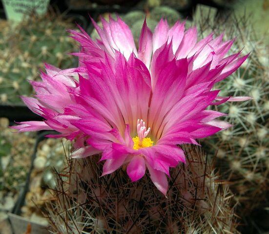 File:Escobaria vivipara001.jpg