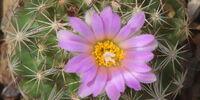 Coryphantha hesteri