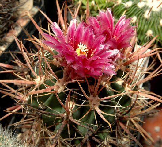 File:Ferocactus fordii001.jpg