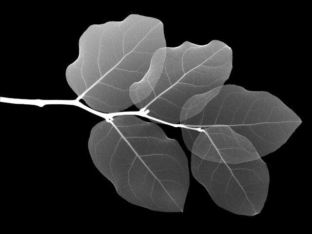 File:Xray leaf.jpg