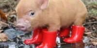 Pigs (Nature Stuff Episode 1)