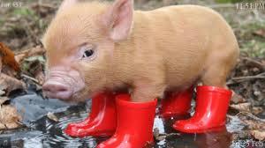 File:Pig 1.jpg