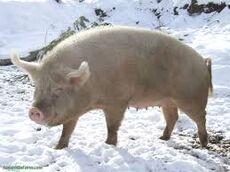 Pig in winter.