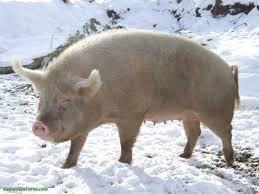 File:Pig in winter..jpg