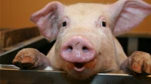 File:Pig 2.jpg