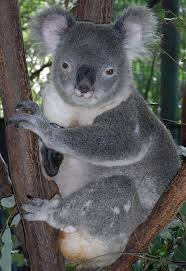File:Koala 1.jpg