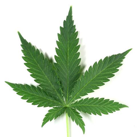 File:Marijuana-leaf sized.jpg