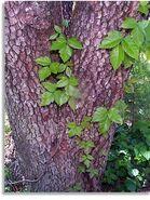 Poison-ivy-dogwood