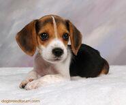 209732 beagle-puppy-0