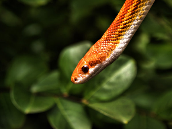 File:Corn Snake by alimuse.jpg