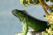 Iguana by rustedsnowflake-d5tvhaq