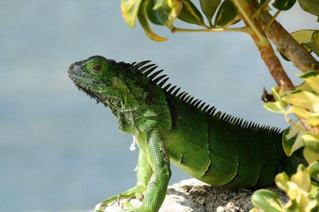 File:Iguana by rustedsnowflake-d5tvhaq.jpg