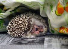 Ap-hedgehog-pet