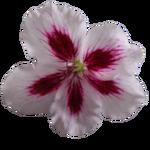 Png geranium flower 01 by the night bird-d59iyul