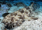 Spotted-wobbegong