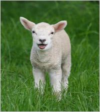 File:Sheep2.jpg