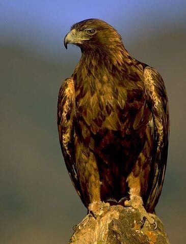 File:Golden-eagle.jpg