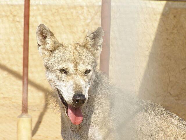 File:Arabianwolf.jpg