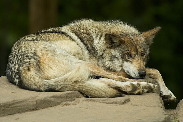 File:MexicanWolf.jpg