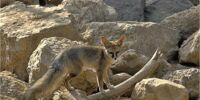 Blandford's Fox