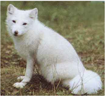 File:Icefox.png