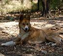 Dingo-Dog Hybrids