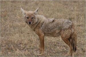 Caninefreeusegoldenjackal
