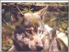 File:Kenaiwolf.png