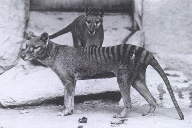 File:Thylacinus.jpg