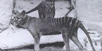Tasmanian Wolf(Thylacine)(Extinct)
