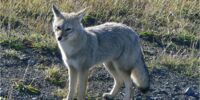 South American Gray Fox(Chilla Fox)