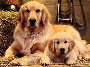 A golden retriever family
