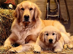 File:A golden retriever family .jpg