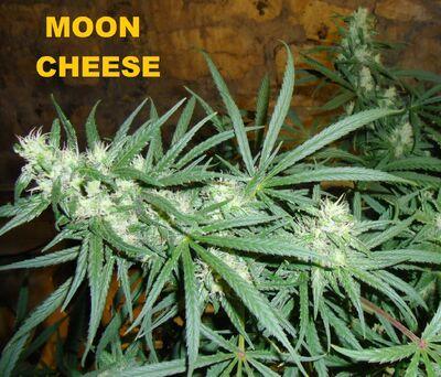 Moon cheese 005