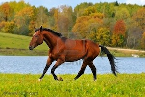 File:8053875-bay-horse-runs-gallop.jpg