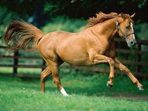 File:Chestnut horse.jpg